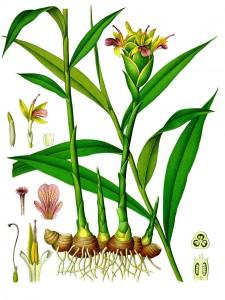 fiore dello zenzero