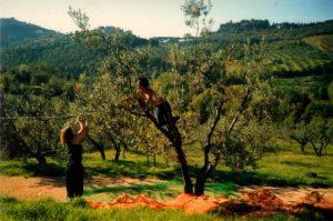 I wwoofers mentre raccolgono le olive