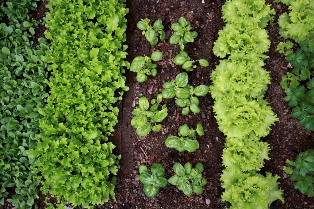 Immagine di insalata nell'orto