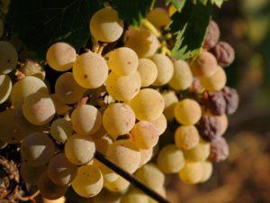 Grappolo di Moscato Bianco d'Asti