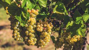 Immagine di grappoli di Chardonnay
