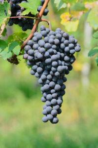 Immagine di un grappolo di uva Nebbiolo