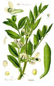 Illustrazione pianta delle fave