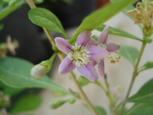 Immagine di un fiore di goji
