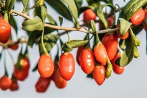 Immagine di bacche di goji sulla pianta