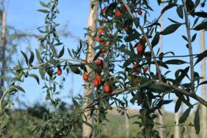 Immagine di un arbusto di goji