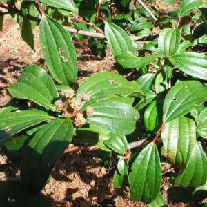 Immagine della pianta della cannella di Ceylon