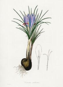 Illustrazione di bulbo di zafferano