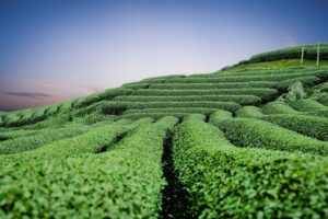 Immagine di campi coltivati di tè