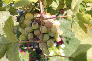 Immagine di grappoli d'uva bianca siciliana
