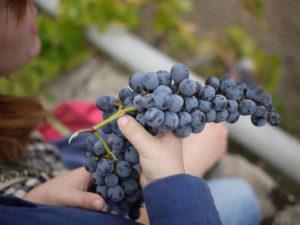 Irappolo d'uva nera siciliana