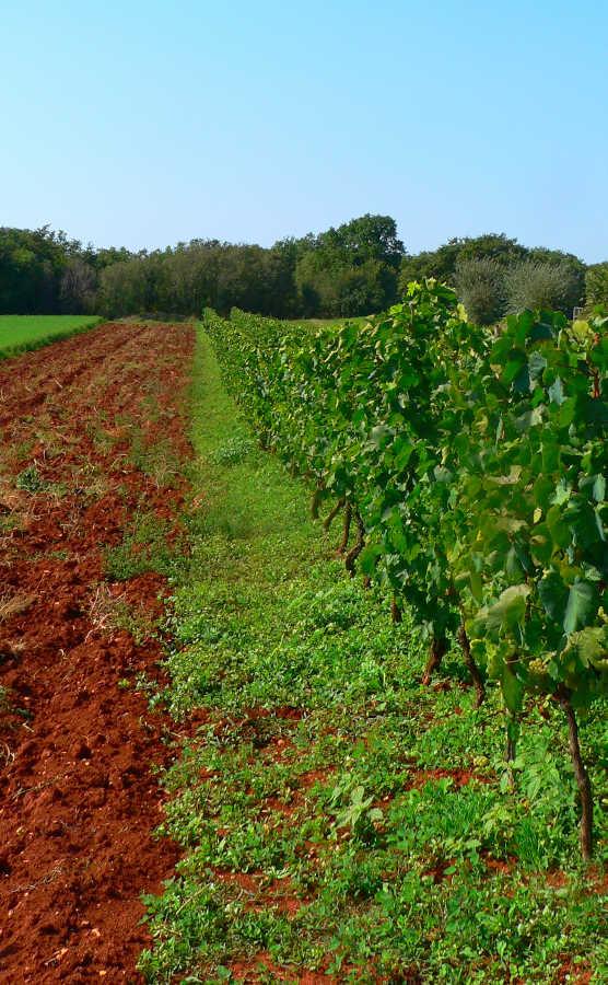 Immagine di vitigno di Malvasia